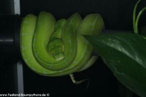 Morelia viridis ködern
