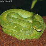 Morelia viridis am Boden