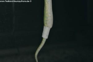 Morelia viridis, Darmvorfall