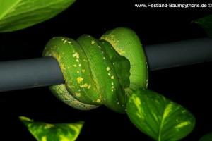 Zucht Morelia viridis, Chondropython, Grüner Baumpython