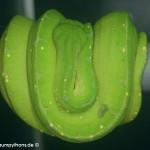 Erkältung, Morelia viridis