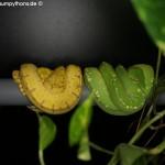 Morelia viridis, Festland Typus, Lokalität, Sorong, Grüner Baumpython, Chondropython