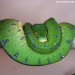 Haltung, Morelia viridis