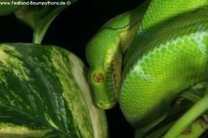 MHäutungsprobleme, Morelia viridis, Grüner Baumpython, Chondropython