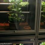 Zucht, Morelia viridis, Grüner Baumpython, Chondropython,