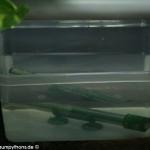 Zucht, Gelege, Schlupf,Inkubator, Morelia viridis, Grüner Baumpython