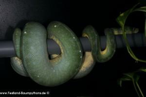 Ovulation, Zucht, Morelia viridis, Grüner Baumpython, Chondropython,