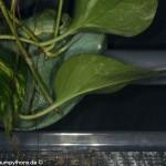 Gelege, Schlupf,Inkubator, Morelia viridis, Grüner Baumpython
